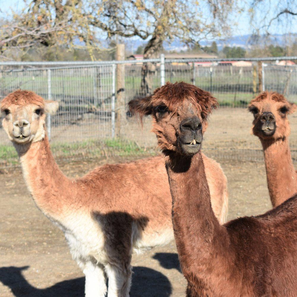 Ace, Peanut, and Prince the Alpacas