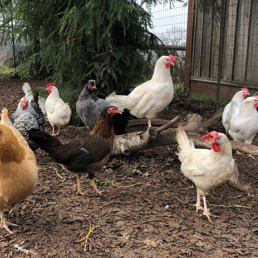 Hens Group Shot