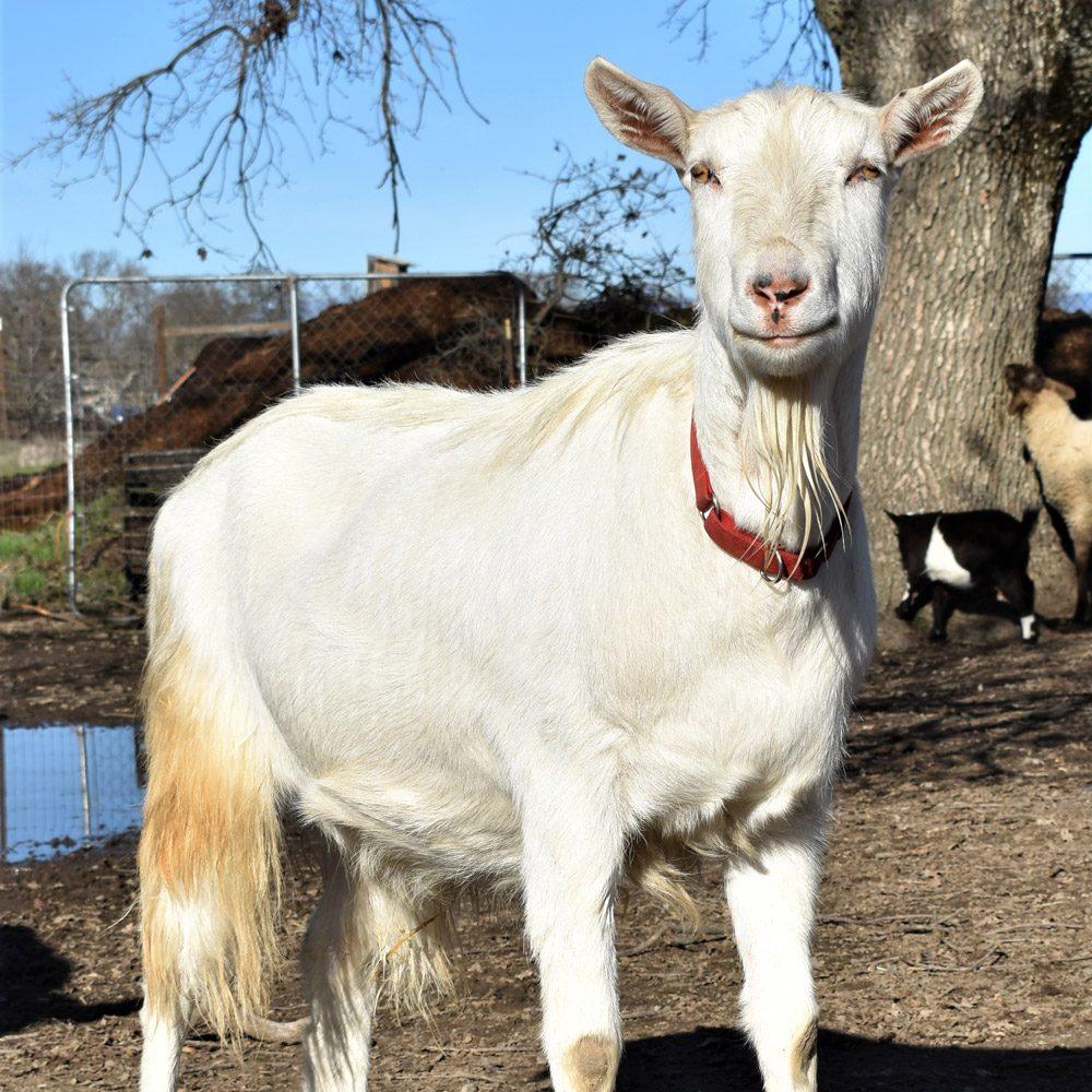 Maverick the Goat