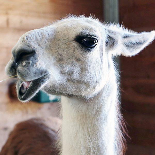 Evita the Llama