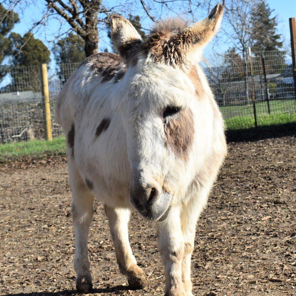 Carmen the Donkey