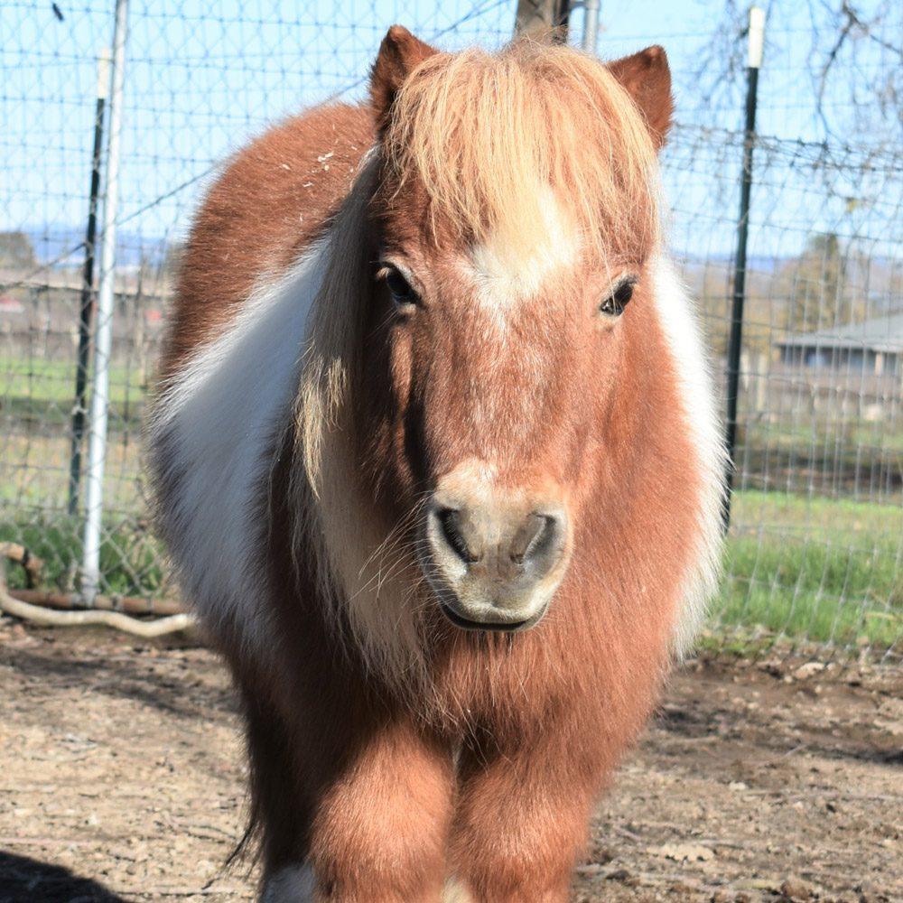 Starburst the Miniature Horse