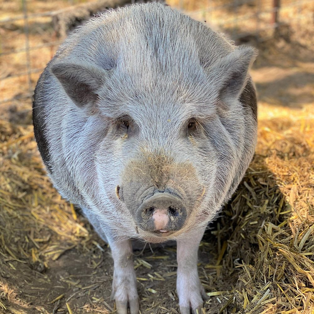 Percy the Vietnamese Pot Bellied pig