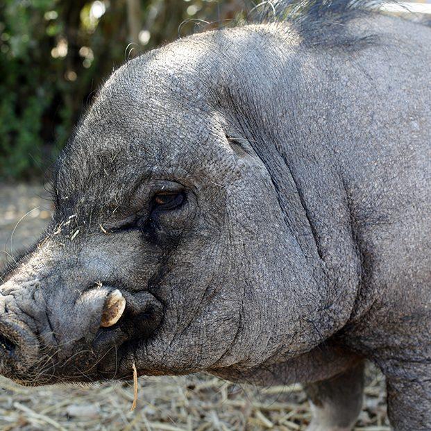 Pig Wilbur and Van Gogh