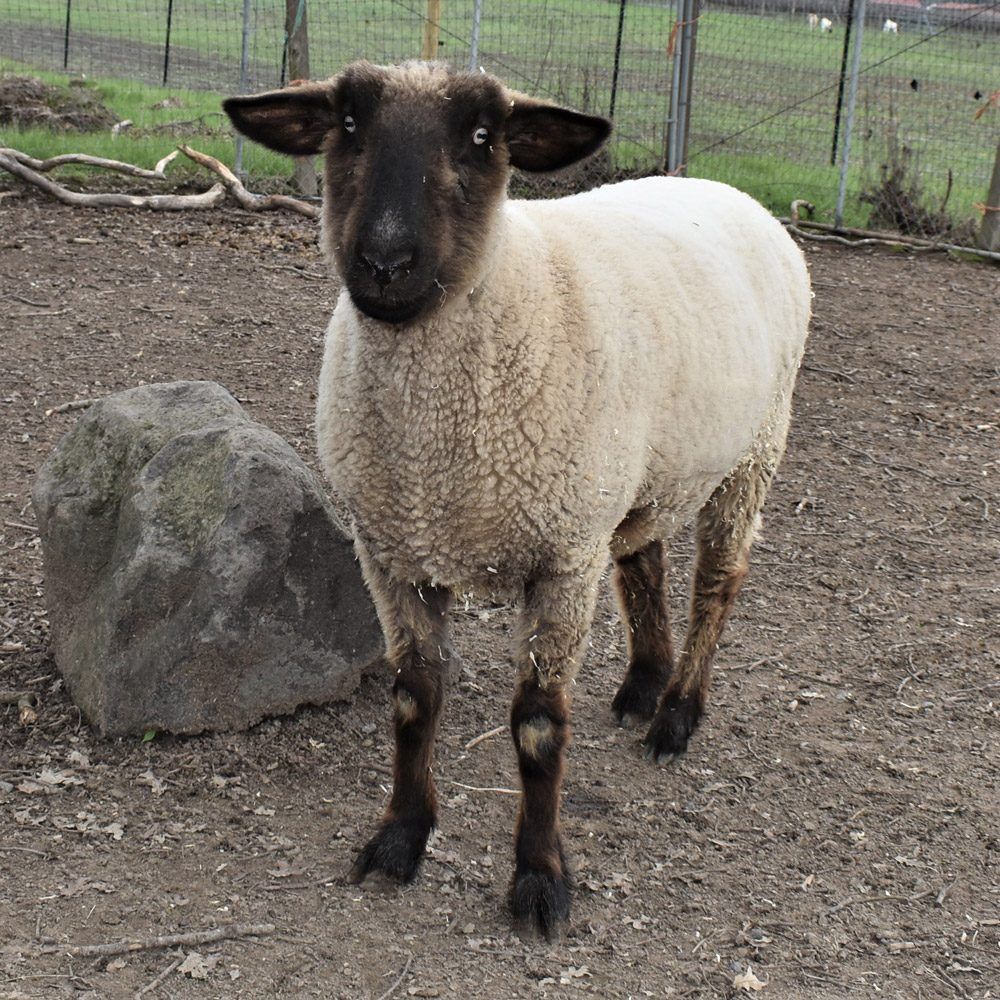 Jerry Springer the Sheep