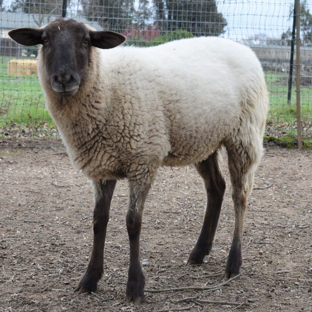 Preston the Sheep
