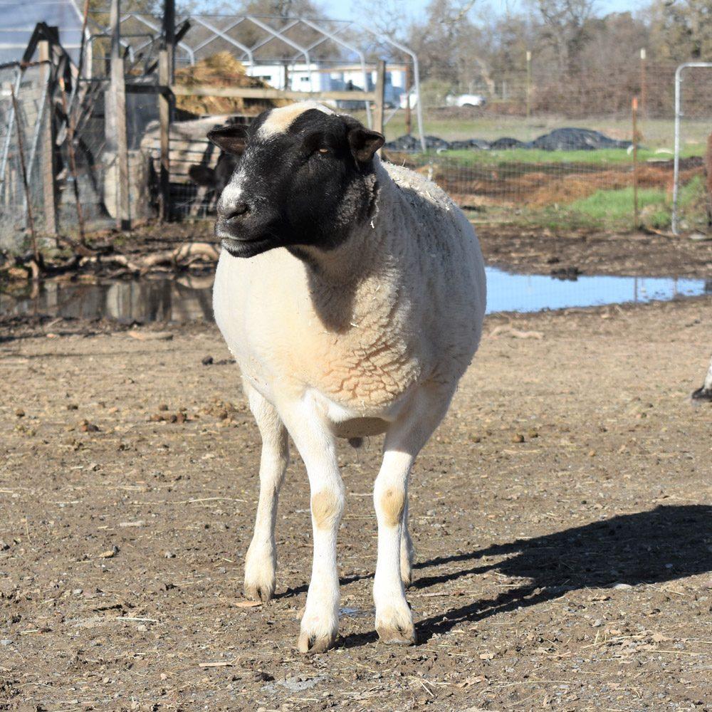 Teddy Rosevelt the Sheep